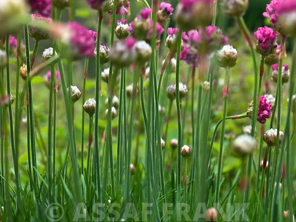 Close-up of armeria maritima flowers