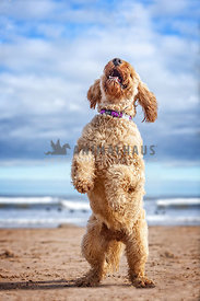 playful dog standing up on two legs on sandy beach