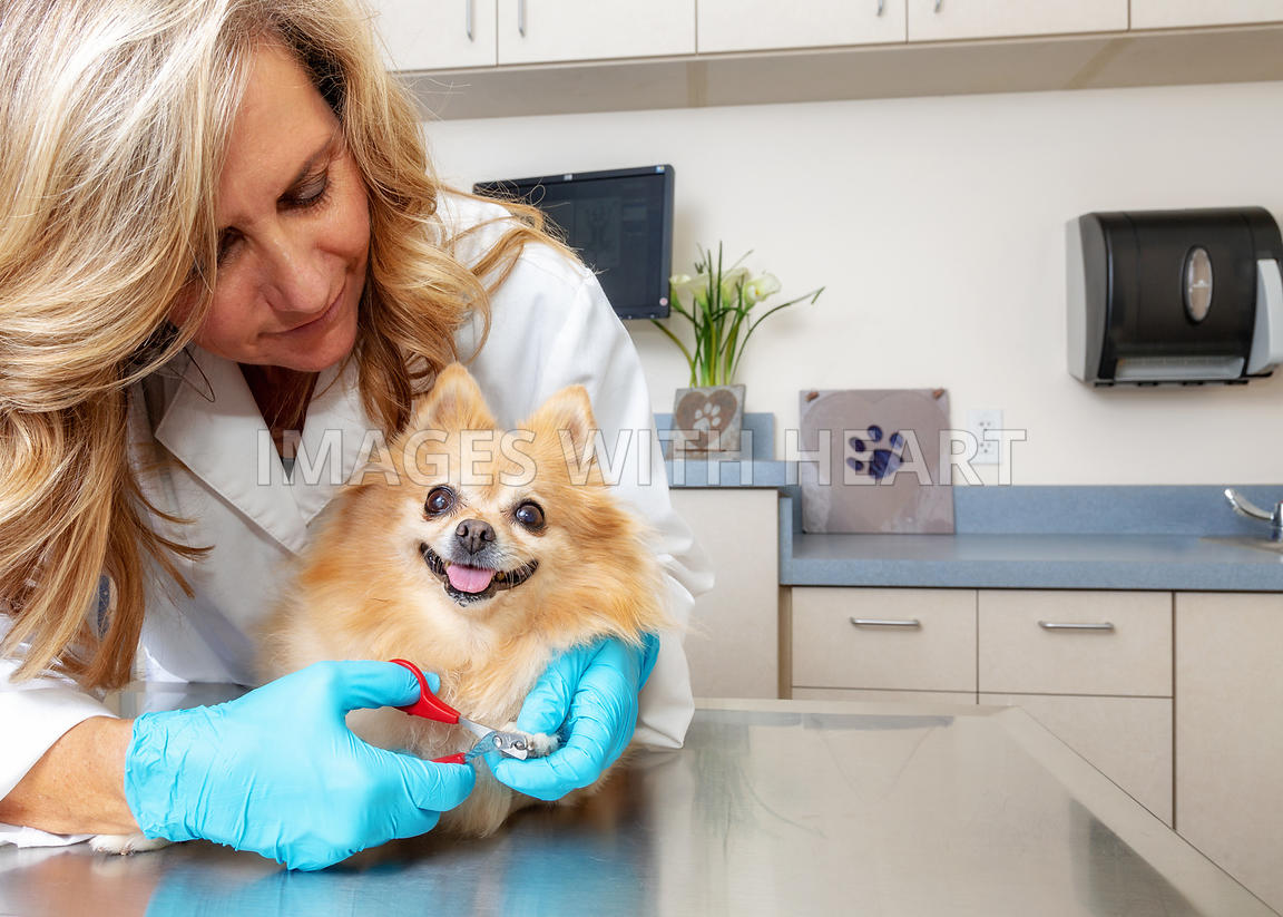 Veterinarian Clipping Dogs Nails in Office