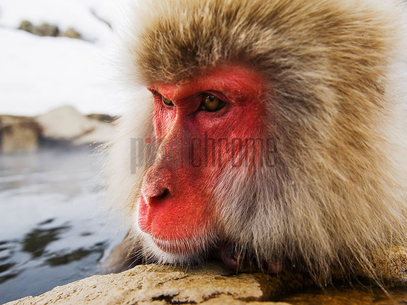 Close-up of Japanese Macaque, Jigokudani Onsen, Nagano, Japan