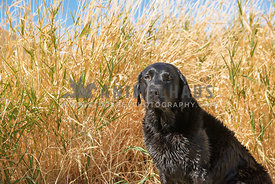 thoughtful black Labraodor retriever dog sitting in front of golden and green corn stalks