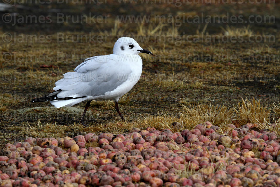 Adult Andean gull (Larus or Chroicocephalus serranus) in winter / non-breeding plumage next to potatos drying on ground