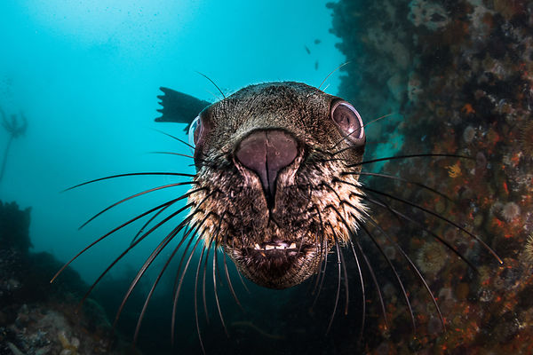 Fur seal, Cape Town