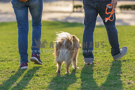 two adults taking a brown pomeranian to a walk in the park