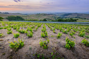 Sunrise over vineyards of Beaujolais