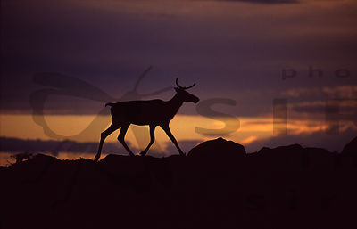 Reindeer on Fell Otsamo