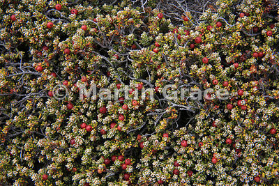Diddle-Dee (Empetrum rubrum) showing its red berries, typically a dominant species of Falkland dwarf shrub heath, Carcass Isl...