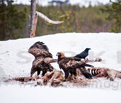 White-tailed Eagle, Golden Eagle and Raven on feeding