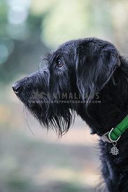 Side profile of healthy handsome black dog