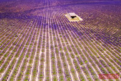 Aerial drone view of lavender field, Provence, France