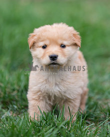 Young golden puppy standing in grass