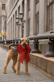 dog wearing red christmas bow on city street