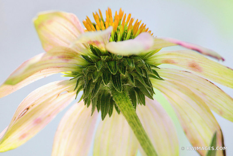 AUTUMN CONEFLOWER ECHINACEA PRAIRIE WILDFLOWER AUTUMN FALL BOTANICALS
