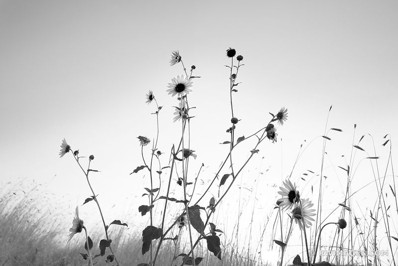 PRAIRIE SUNFLOWERS PALOUSE FALLS STATE PARK PALOUSE WASHINGTON BLACK AND WHITE