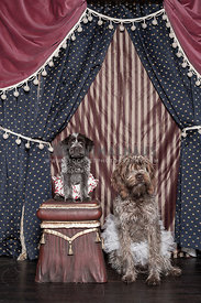 Big and little scruffy circus dogs sitting with their tutus on