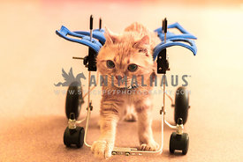 Handicapped cat in wheelchair