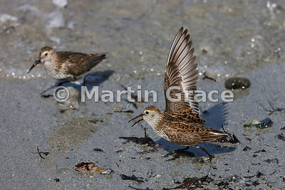 Male Dunlin (Calidris alpina) performing a One-wing-lift display towards a rival male, Bigton Wick, Shetland