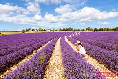 Woman picking up lavender in a field, Provence, France