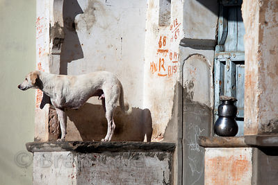 A three-legged dog sitting on temple steps in Pushkar, Rajasthan, India