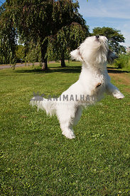 Shaggy dog jumping in the air