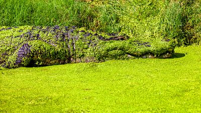 American Alligator Covered in Green Duck Weed
