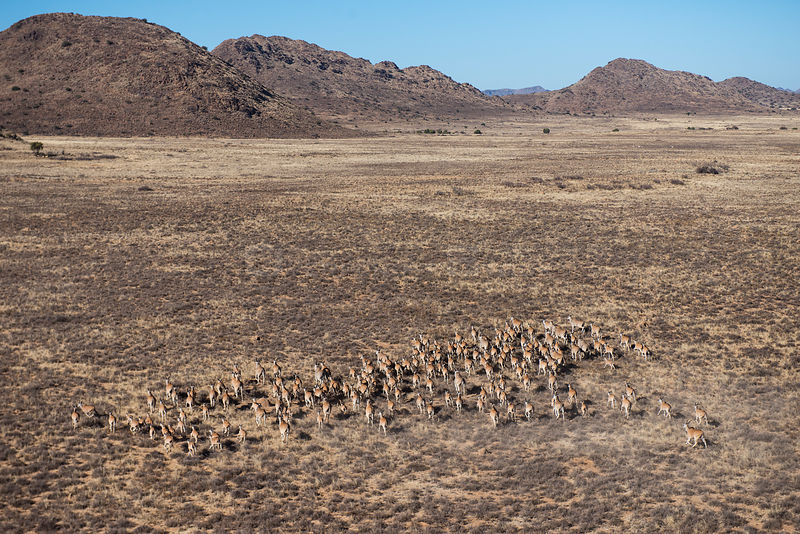 Eland (Taurotragus oryx) herd, on private game ranch. Great Karoo, South Africa