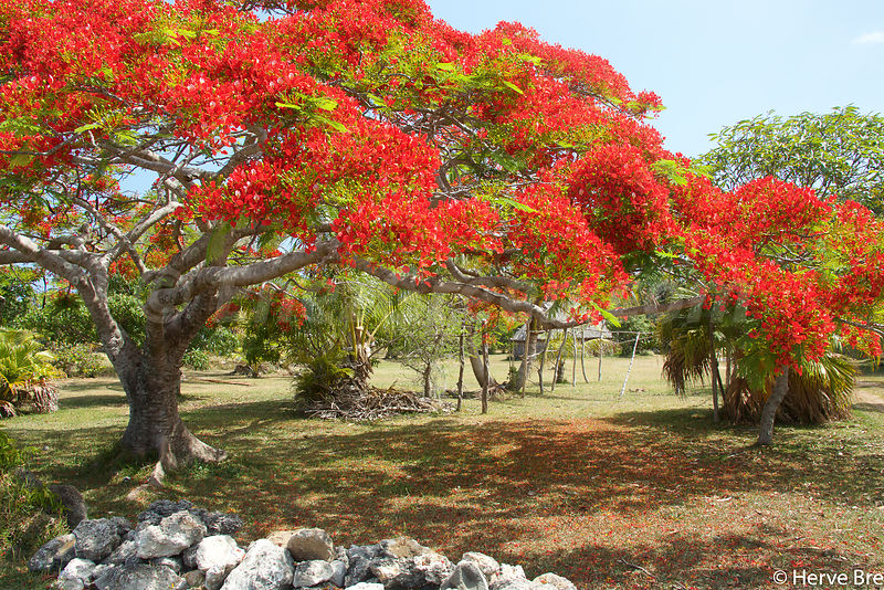 Ouvea island Flame tree