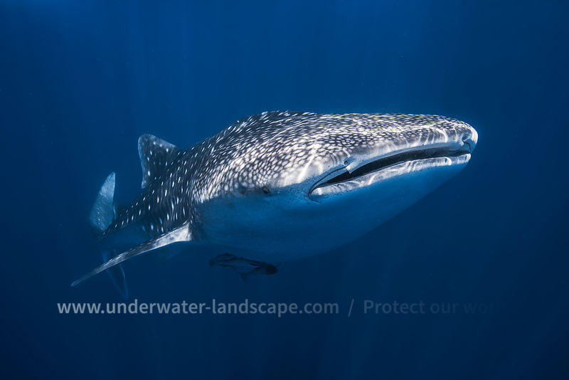 Whale Shark-the biggest fish in the world