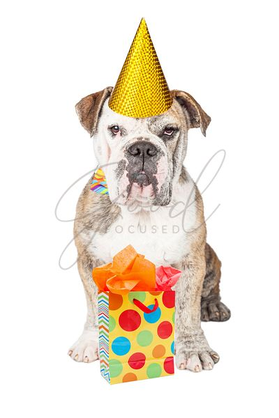 Funny Bulldog With Birthday Present