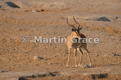 Male Black-Faced Impala (Aepyceros melampus petersi), Etosha National Park, Namibia
