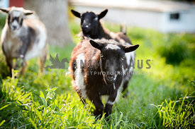 goat srunning toward viewers