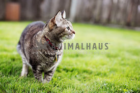 brown tabby cat in a yard