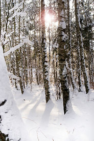 An atmospheric image of the sun coming through the snow covered trees, in a forest.