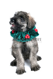 Giant Schnauzer Puppy Dog wearing Holiday Collar