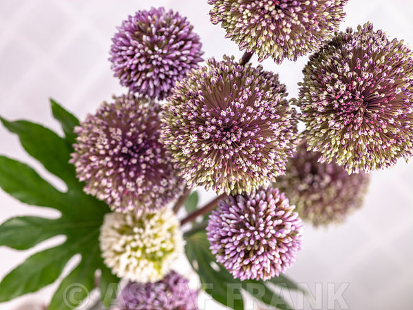 Allium flowers arrangement, close-up
