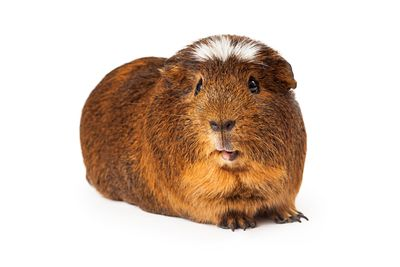 Peruvian short hair Guinea Pig