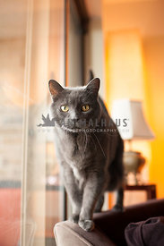 gray russian blue cat walking on the back of a couch toward the camera