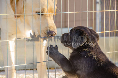 yellow adult Labrador looking through fencing at curious little black lab puppy with paw up