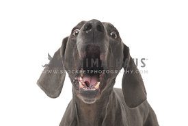 Blue weimaraner barking on white background