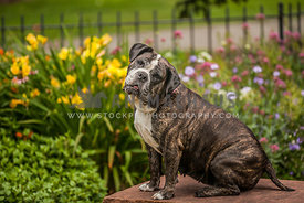Bulldog on garden bench surrounded by flowers