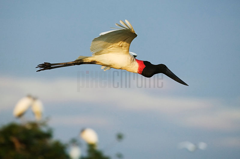 Jabiru Stork in Flight, Transpantaneira Highway, Pantanal, Mato Grosso, Brazil