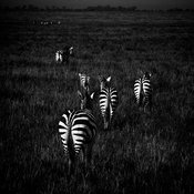 8944-Zebras_crossing_the_plain_Maasai_Mara_Kenya_2006_Laurent_Baheux