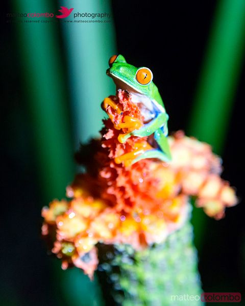 Red eyed tree frog, Arenal, Costa Rica