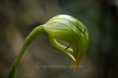 Nodding Greenhood, Pterostylis nutans.