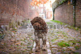 Lagotto Romagnolo in cobblestone alley