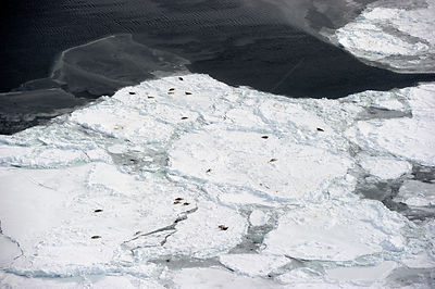 Aerial view of Harp seals (Phoca groenlandicus) hauled out on sea ice, Magdalen Islands, Gulf of St Lawrence, Quebec, Canada,...