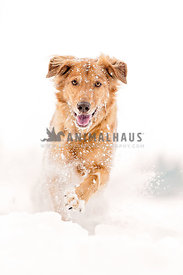 Golden running through snow