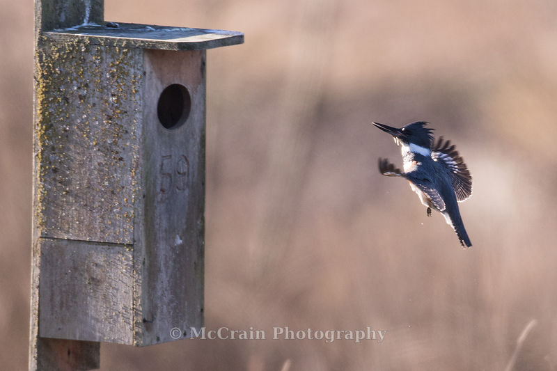 A female Belted Kingfisher returning to her favored hunting post. This nest box was on the edge of a pond right by the entran...