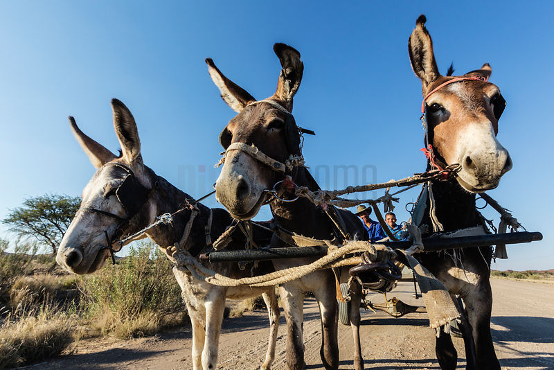 """Kalahari Ferrari"" Pulled by 2 Mules and a Donkey"
