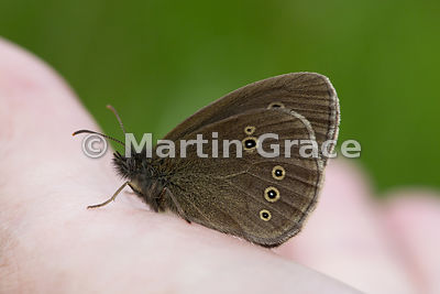Under side of Ringlet butterfly (Aphantopus hyperantus) perching on the hand, Cairngorms National Park, Badenoch, Scottish Hi...